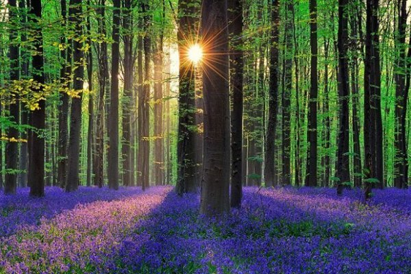 Lenyűgöző a harangvirágba borult erdő Belgiumból